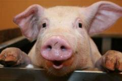 После скандала в СМИ из-за резкого снижения поголовья свиней Белстат закрыл эту статистику